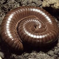 millipedes identification habits and treatment advice. Black Bedroom Furniture Sets. Home Design Ideas