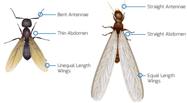 How big are termites with wings