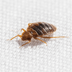 bed bug found on bed