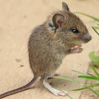 identifying common mice